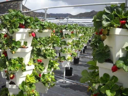 کشت هیدروپونیک توت فرنگی در فضای باز