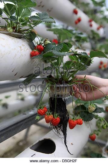 گلخانه هیدروپونیک توت فرنگی