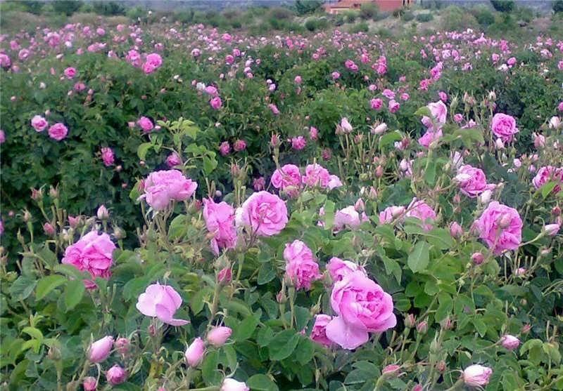 کاشت گل محمدی