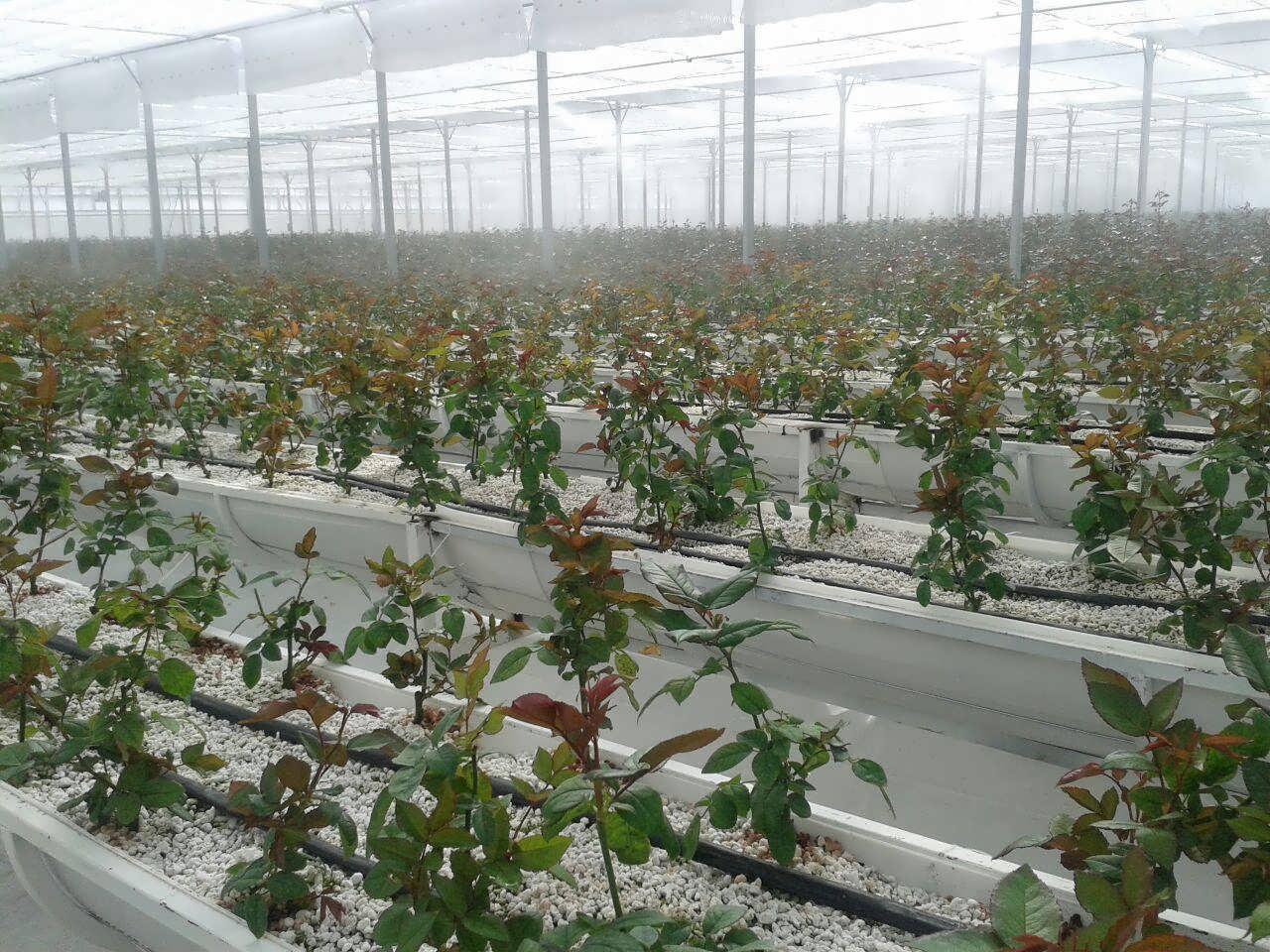 گلخانه هیدروپونیک گل رز
