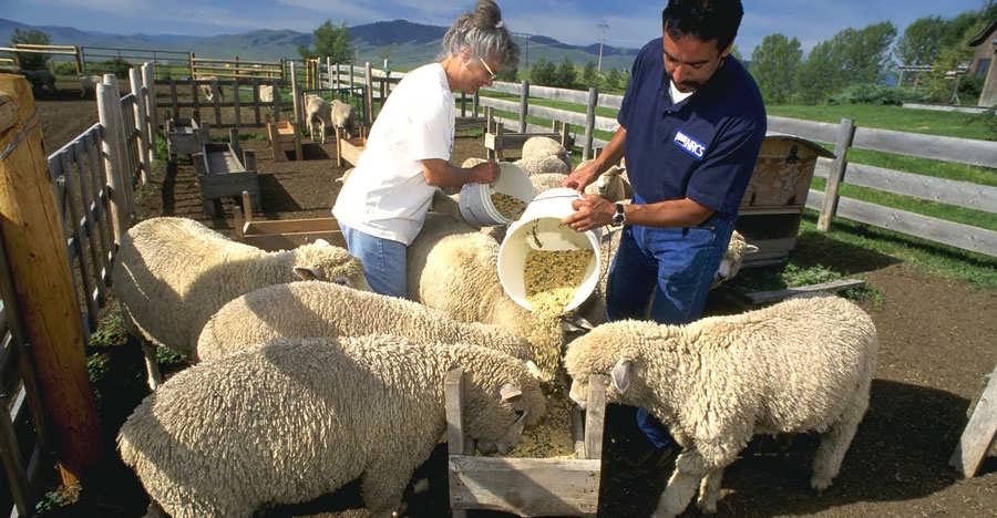 طرح توجیهی پرواربندی گوسفند 200 راسی
