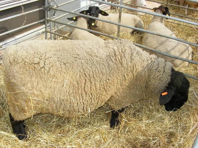 طرح توجیهی پرورش گوسفند 200 راسی