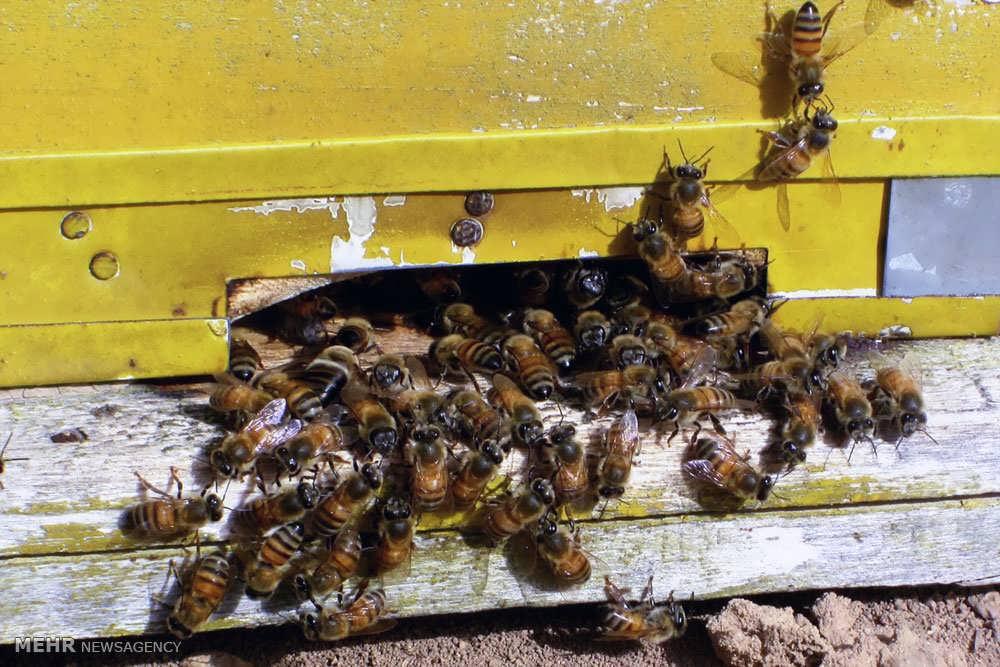 طرح توجیهی پرورش زنبورعسل