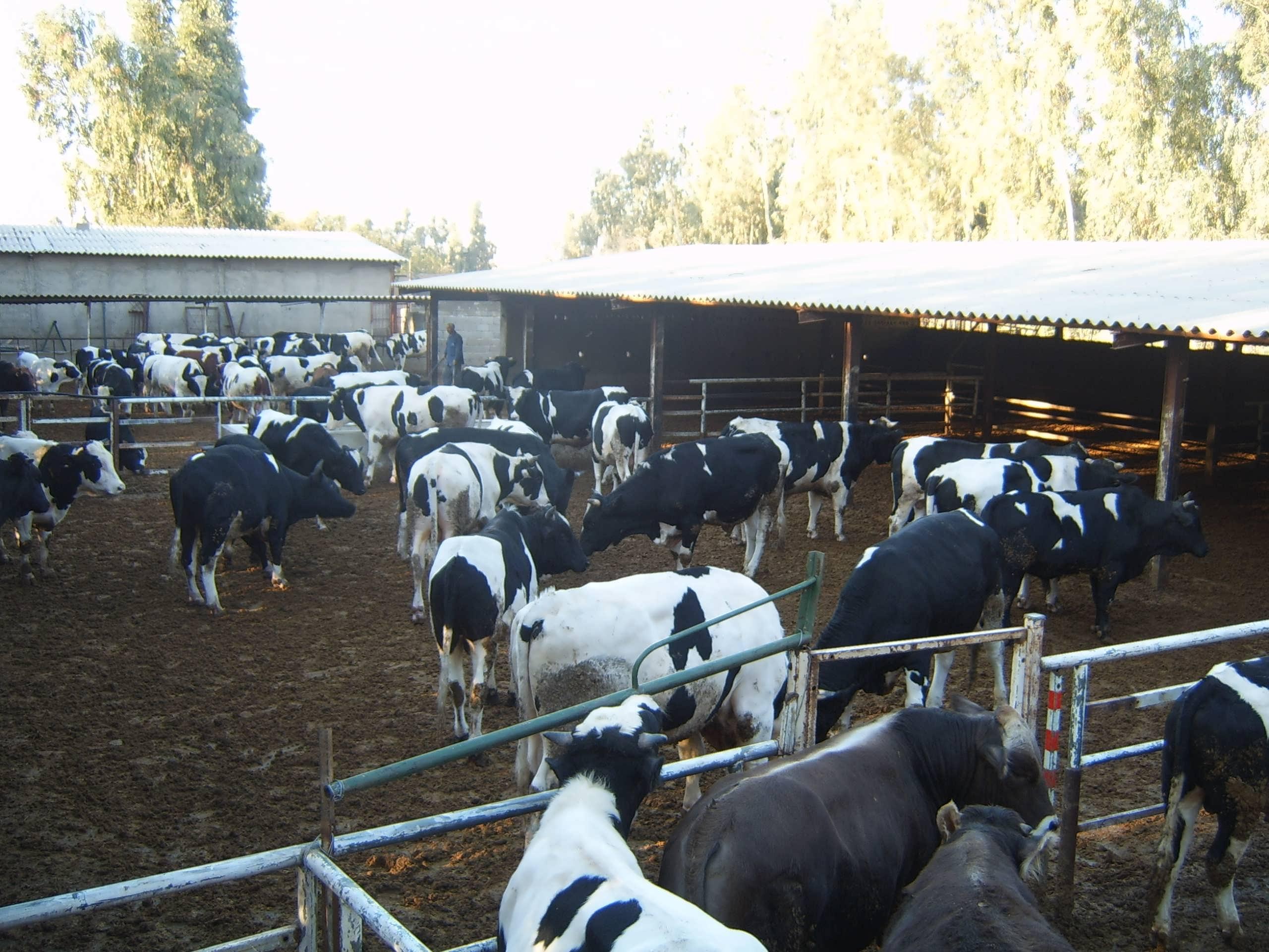 طرح توجیهی پروار بندی گوساله