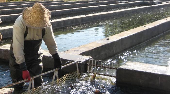پرورش ماهی قزل آلا