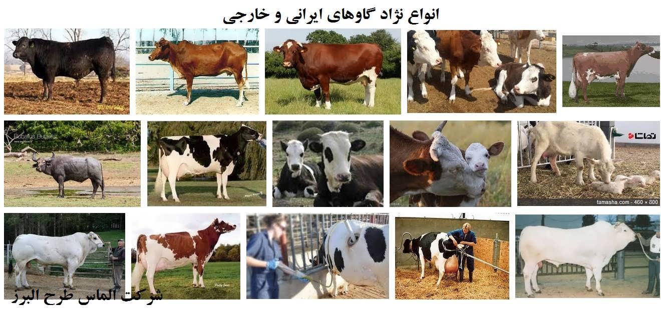 انواع نژاد گاوهای ایرانی و خارجی