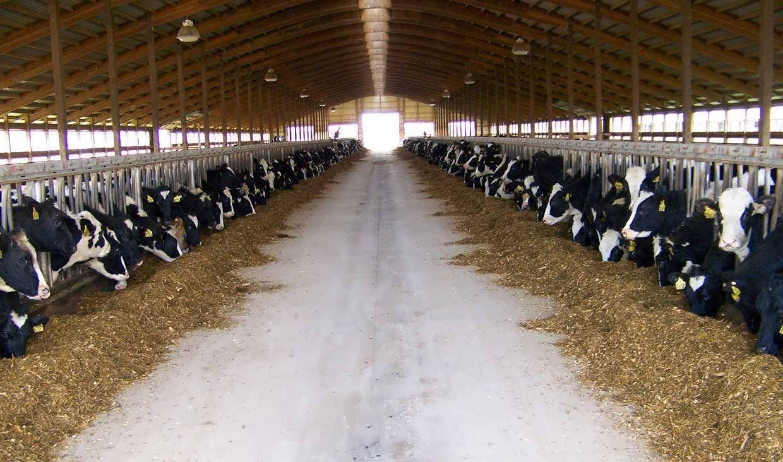 هزینههای پرورش گاو شیری