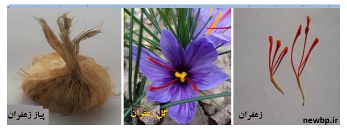 کشت گلخانه ای زعفران