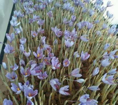 پرورش زعفران گلخانهای به روش آیروپونیک