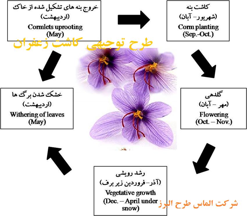 مراحل زندگی گیاه زعفران