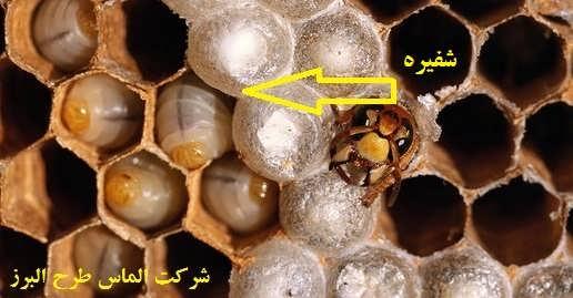 شفیره زنبور عسل
