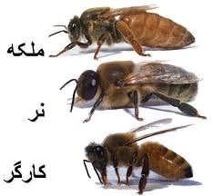 زنبور کارگر -ملکه - نر