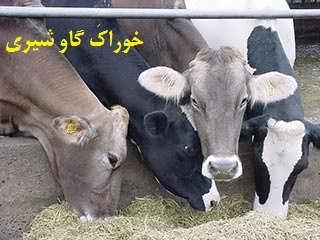 خوراک گاو شیری