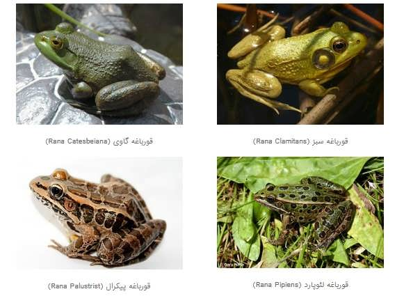 مهمترین گونه های مستعد پرورش  قورباغه