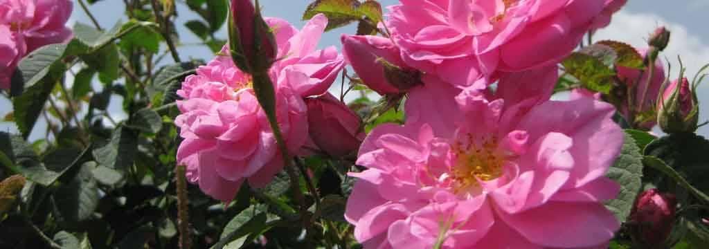 طرح توجیهی پرورش گل محمدی
