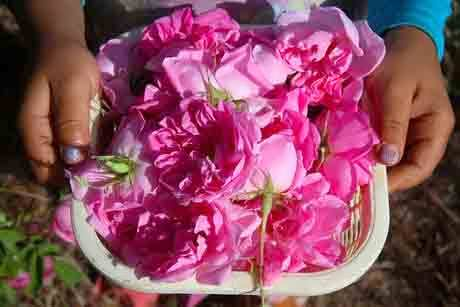 طرح پرورش گل محمدی
