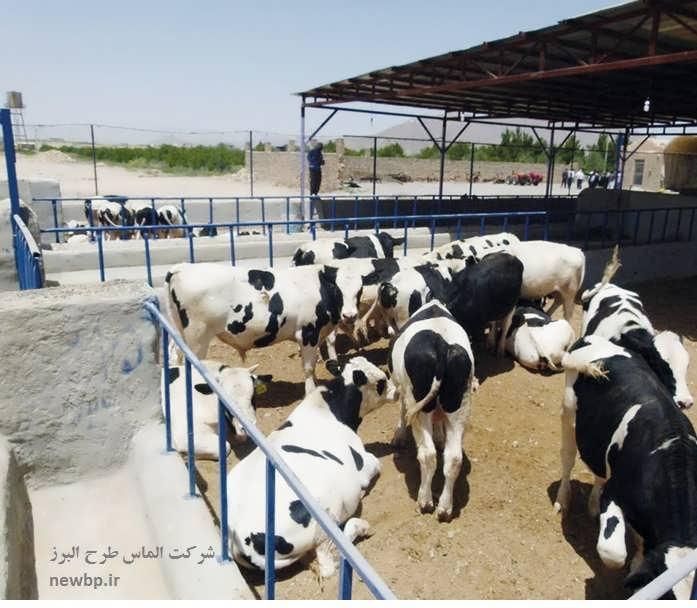طرح توجیهی پرواربندی گوساله 100 راسی