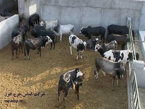 طرح توجیهی پرواربندی گوساله 60 راسی