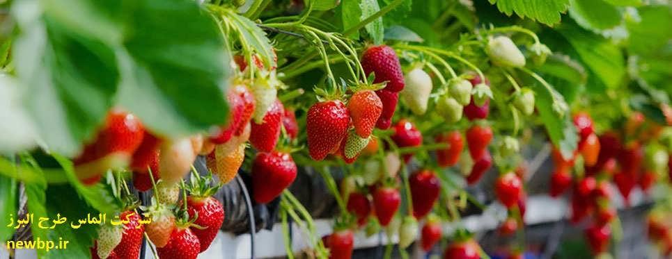 طرح توجیهی کشت توتفرنگی گلخانهای به روش هیدروپونیک