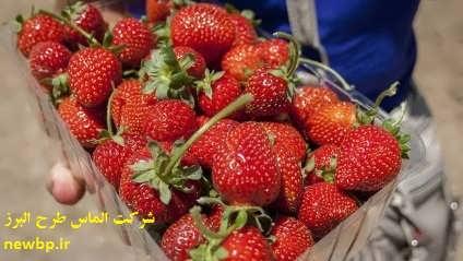 کشت هیدروپونیک توت فرنگی