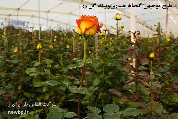 گلخانه هیدروپونیک گل رز هلندی
