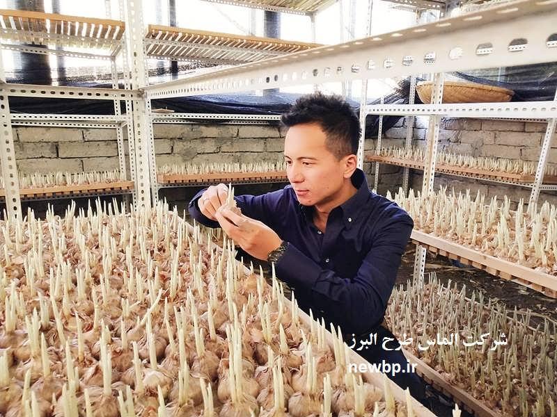 طرح پرورش زعفران گلخانه ای