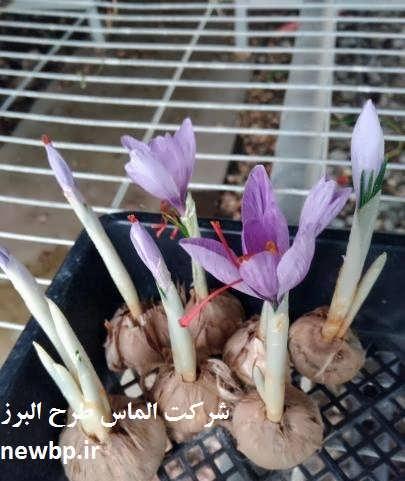 طرح توجیهی پرورش زعفران گلخانه ای pdf
