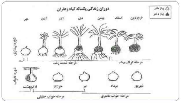 چرخه رشد زعفران