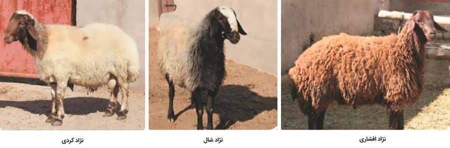 نژاد افشاری،شال و نژاد کردی گوسفند