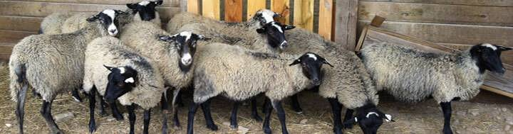 طرح پرورش گوسفند رومانف