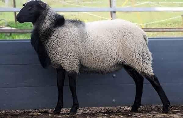 سرمایه لازم برای گوسفند رومانف