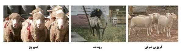 نژاد های گوسفند خارجی
