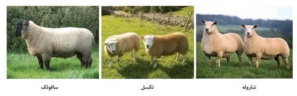 گوسفند اصلاح شده