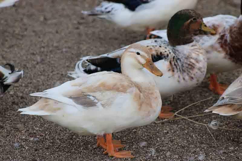 Australian Duck