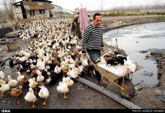 پرورش اردک در جوی آب