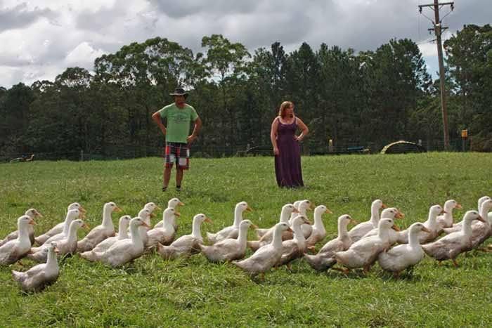 پرورش اردک در باغ