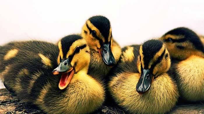 پرورش گله مادر اردک