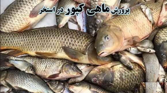 آموزش پرورش ماهی کپور در استخر بتنی