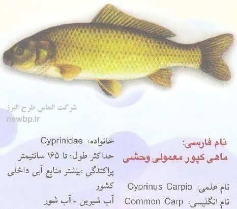 ماهی کپور وحشی