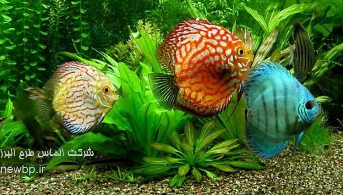 طرح پرورش ماهی زینتی