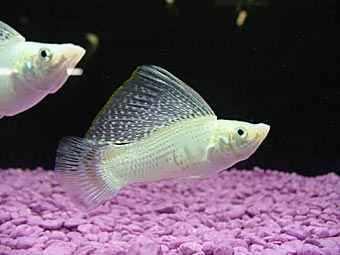 پرورش ماهی مولی