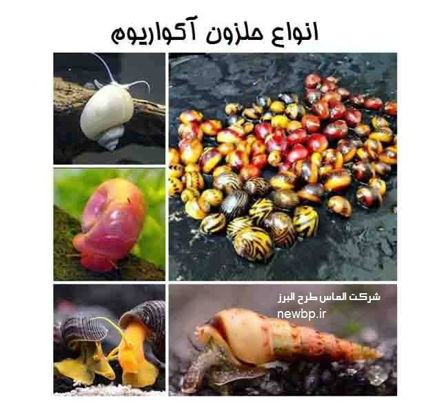 انواع حلزون پرورشی