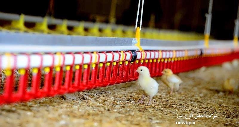 چگونه مرغ گوشتی پرورش دهیم ؟