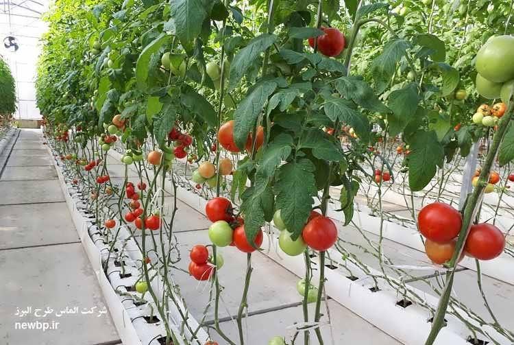 طرح توجیهی گلخانه هیدروپونیک گوجه فرنگی 98