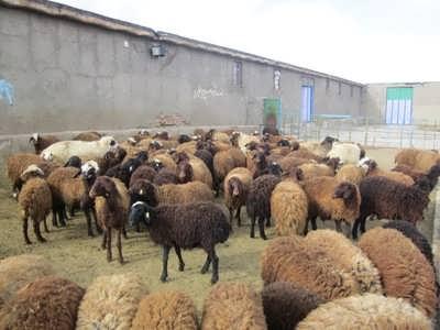 طرح توجیهی گوسفند داشتی