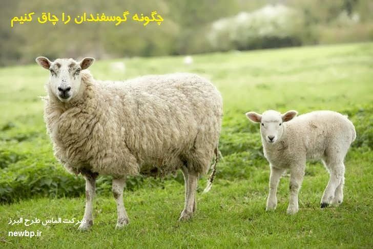 چگونه گوسفندان را چاق کنیم