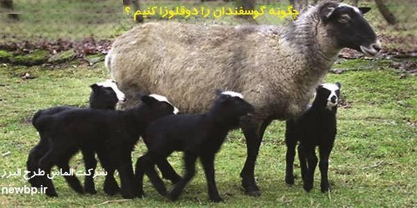 چگونه گوسفندان را دوقلوزا کنیم ؟