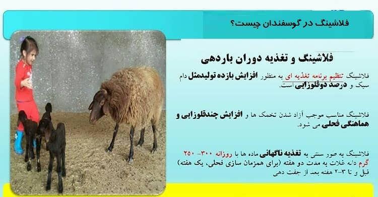 فلاشینگ در گوسفندان چیست؟