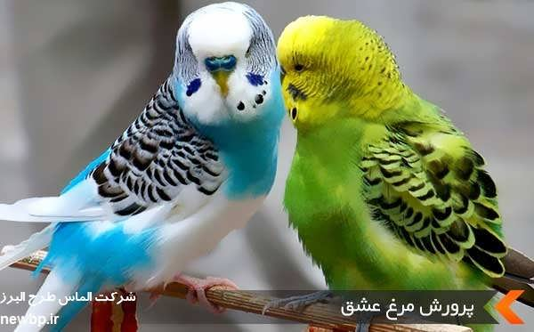 پرورش مرغ عشق