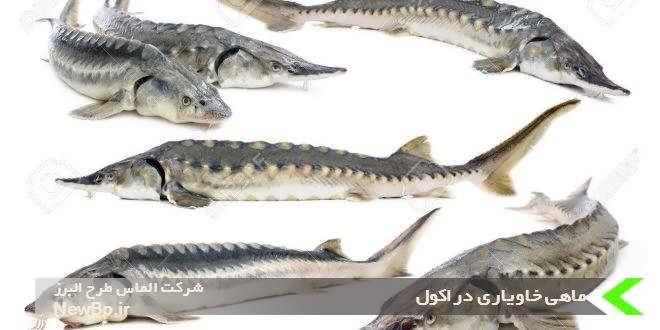 ماهی خاویاری